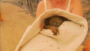 Nie żyje koala Lewis uratowany z pożaru w Australii