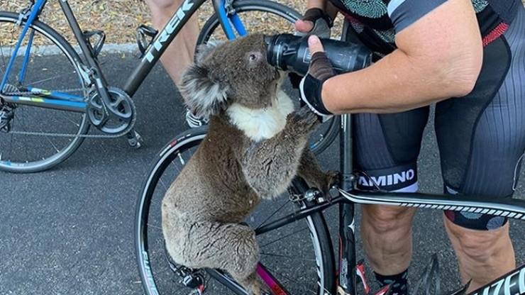 Koala zatrzymał rowerzystkę i wypił wodę z bidonów. Żar lał się z nieba