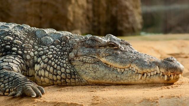 Szaleńcy chcieli upić aligatora. Jak się skończył ten ryzykowny wybryk?