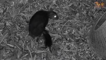 W zoo urodził się myszojeleń. Sfilmowano poród
