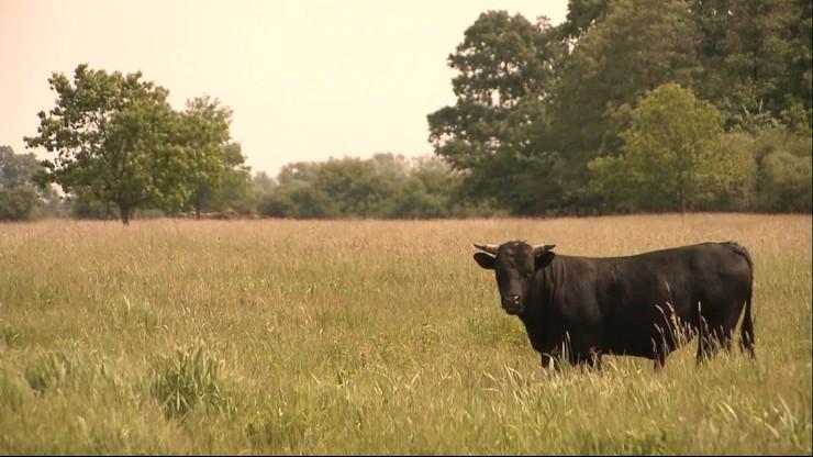 Lubuskie: byk zabił rolnika. Niósł go na rogach przez kilkadziesiąt metrów