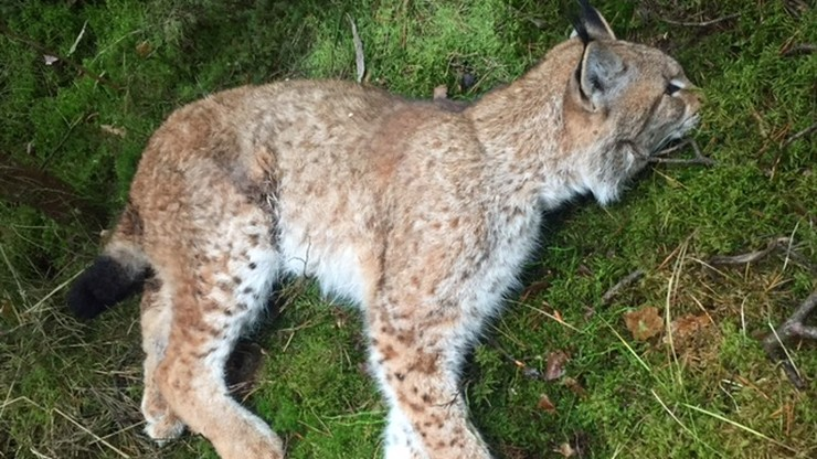 Ogromna strata. Zginęła samica rysia. W Polsce żyje ok. 200 osobników