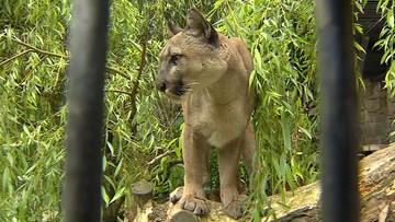 Puma Nubia znajdzie nowy dom? Jest porozumienie między zoo i byłym właścicielem