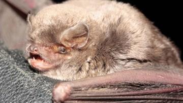Sensacyjne odkrycie. Nowy gatunek nietoperza potwierdzony w Polsce