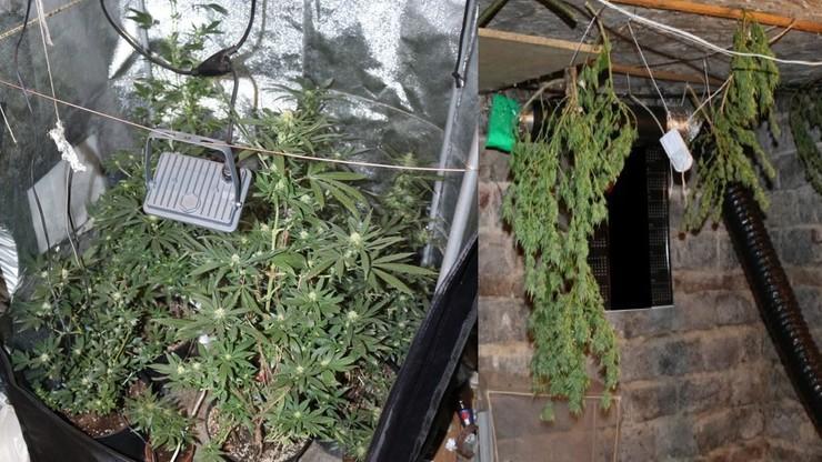 Policja odkryła plantację marihuany, bo jej właściciel źle zaparkował motorower