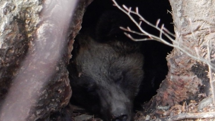 Niedźwiedzie idą spać. Znany leśniczy Kazimierz Nóżka opublikował wyjątkowe zdjęcie - Polsat News