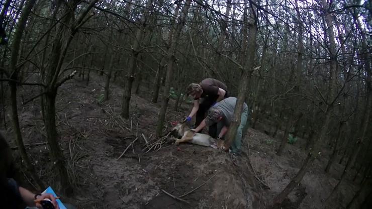 Pracownicy ZOO pomogli uwięzionemu wilkowi. Zobacz poruszające nagranie [WIDEO]