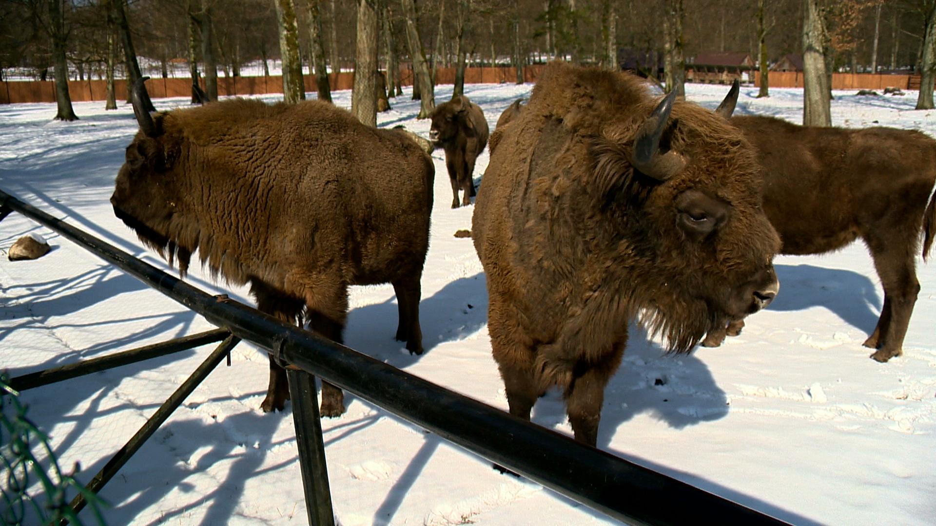 Tajemnice żubrów i innych zwierząt w Białowieskim Parku Narodowym