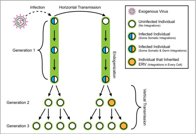 Schemat transmisji pionowej (vertical) i poziomej (horizontal)